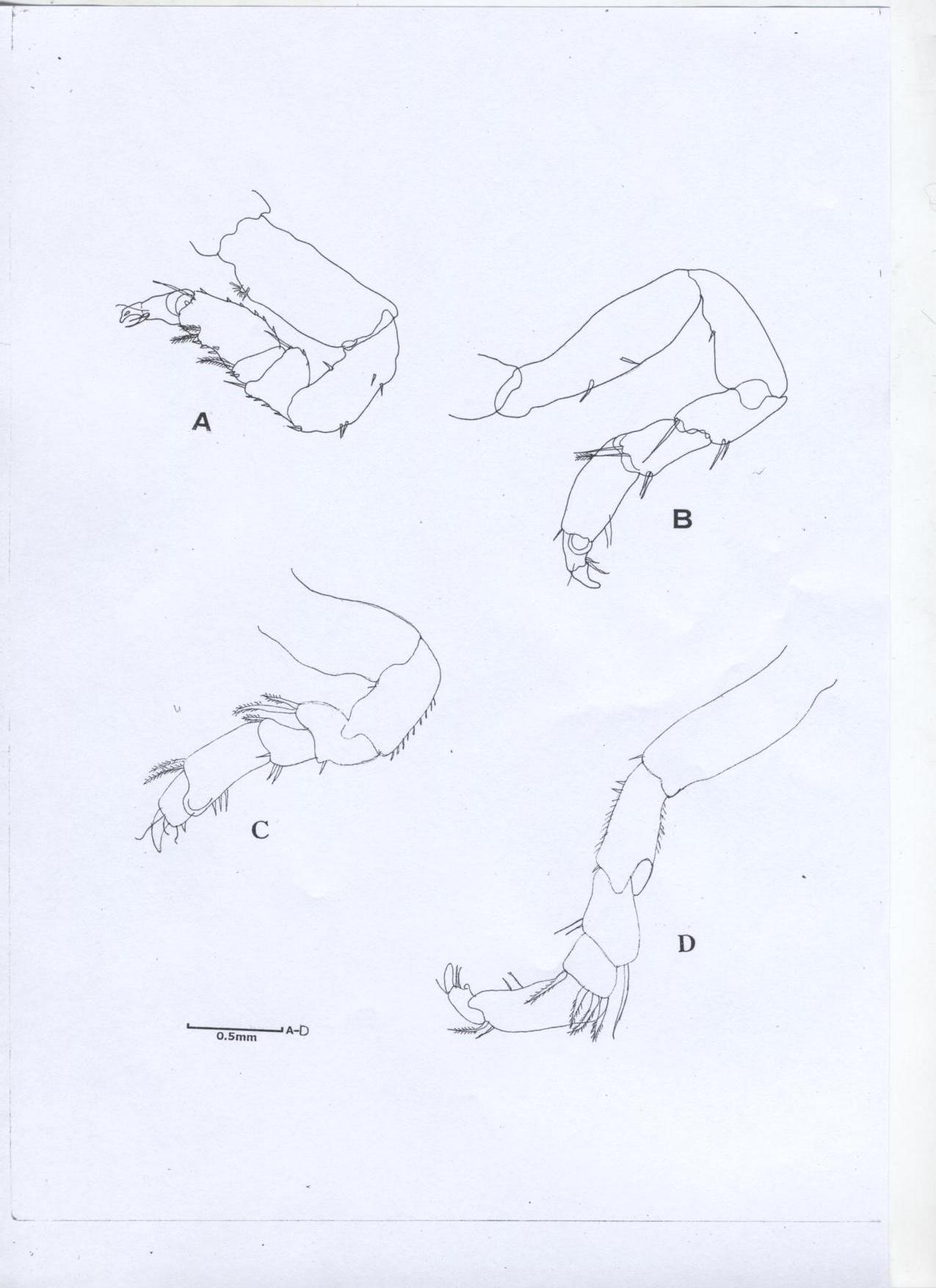 Heterodina qeshmensis Khalaji & Bruce, 2014 [6], A, Pereopod 1; B, Pereopod 2; C, Pereopod 4; D, Pereopod 7