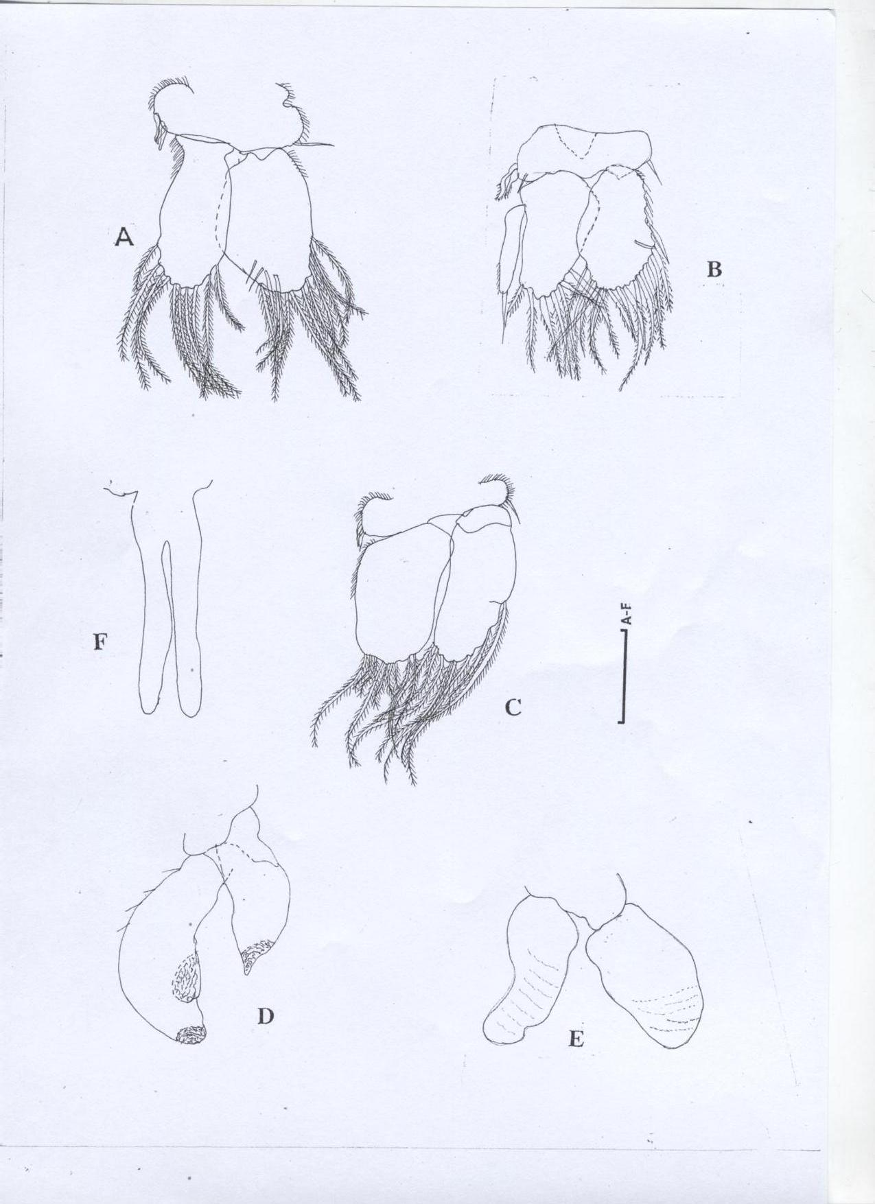 Heterodina qeshmensis Khalaji & Bruce, 2014 [6], A, Pleopod 1; B, Pleopod 2; C, Pleopod 3; D, Pleopod 4; E, Pleopod 5; F, Penial process