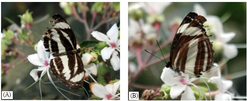 Dorsal (A) and ventral (B) view of Neptis soma Shania