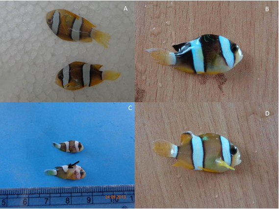 A. Fishes from FRP tanks showed uneven size. B. Identical size, Gorgeous colour was observed in lighting tank. C. Miss-bands and abnormal size fishes in FRP tanks. D. Normal growth and light colour from FRP tank.