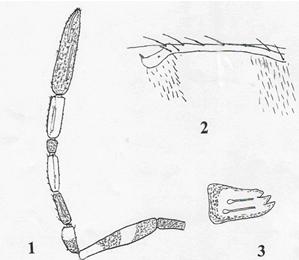 Ablerus aegypticus Abd-Rabou sp. Nov. 1. Female antenna; 2. Distal veins enlarged; 3. Mandible