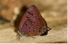 Arhopala agaba agaba Hewitson, 1862 (Purple-Glazed Oakblue)