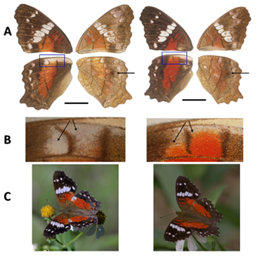 Anartia amathea roeselia. Basic colour pattern of wings. (A) Dorsal (left) and ventral (right) surfaces of female and male. Ventral surfaces are more pallid and present a cryptic pattern. Black arrow indicates the black hindwing spot, which is more visible on the ventral hindwing surface. Blue rectangle delimits sex dimorphic area. Scale bar = 10 mm. (B) Detail of sex dimorphic area where female has a white spot (spot 18; see Figure 3) and male red scales. (C) Actual landing behaviour of active female and male exposing the dimorphic area.